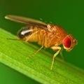 Обнаружена связь между белками в мышцах и продолжительностью жизни мух-дрозофил